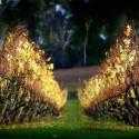 Lindenderry Vineyard Post harvest