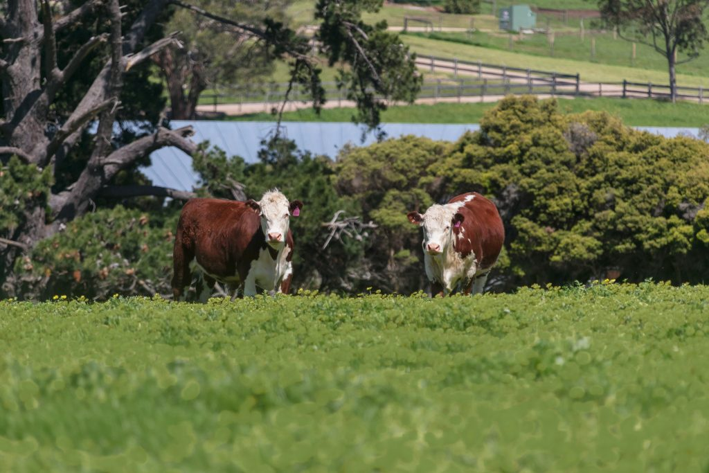 cattle on farm